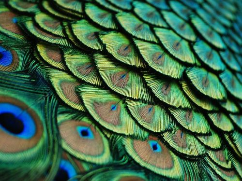 theanimalblog:  Peacock by Lorenzo Cassina