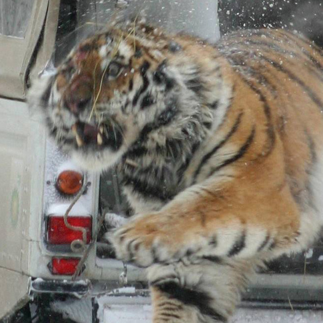Closeup of a wild Siberian Tiger escaping from the back of a truck after being tagged. This is one unhappy cat.