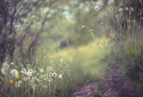 mykindafairytalee:  obligatory dandelions 2012 by dapalmerpeter (slow & low) on Flickr.