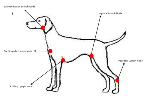 Head to Tail Health Check – Lumps and Bumps When I first started on placement at a veterinary practice, I had a moment of panic when I was doing a health check on a dog with an infected wound on its forelimb and I found a huge lump in the dogs armpit, thinking it was tumour or something sinister I told the vet about it and she checked it and told me it was an inflamed lymph node. Therefore it is so important to know where lymph nodes are and when to panic! The most common lymph nodes are:  Submandibular Node  Pre-scapular Node Auxiliary Node  Inguinal Node Popliteal Node   (It a fine art finding a lymph node on a real dog sometimes, so I'm not going to try and explain in writing how to palpate them, I suggest asking a vet or veterinary nurse to show you) Most of the time you should be able to just feel a lymph node, it should be quite small, if it feels big and seems swollen, it is likely the animal is fighting some sort of infection. Any other lumps found should be reported to a vet and written on the hospital sheet. I always find it helpful that is there is more than one lump, a quick diagram sketched and the location of each lump marked. It is difficult to tell if a lump is cancerous or benign without running further tests.