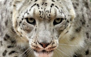 """A Male Snow Leopard Villy Is Pictured In An Enclosure At The…"""