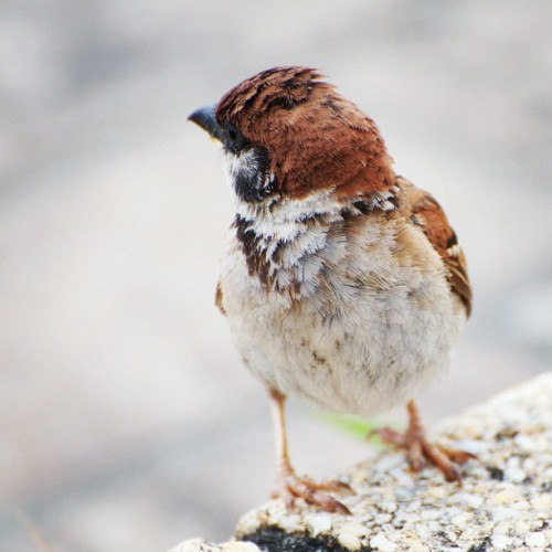 Called me? #japan #tokyo #bird #birds #sparrow  (Instagramで撮影)
