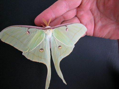 a-little-melancholy:  A Luna Moth, or Actias luna.  While considered a common moth in North America, sightings of them are rather uncommon. While that's partly because they're far more active at night, Luna Moths, like other Saturniidae, lack a mouth and do not eat in the adult phase of their life, thus only living for a week at most before they die.  There was one of these that would camp out on my front door for awhile….I walked outside to find him on pieces on the porch. ): Damn neighborhood cats.