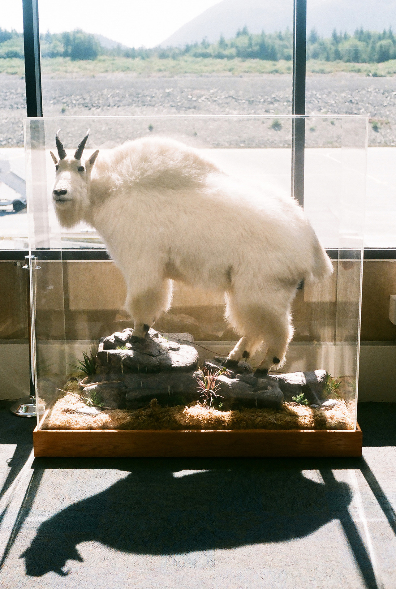 Taxidermy Goat