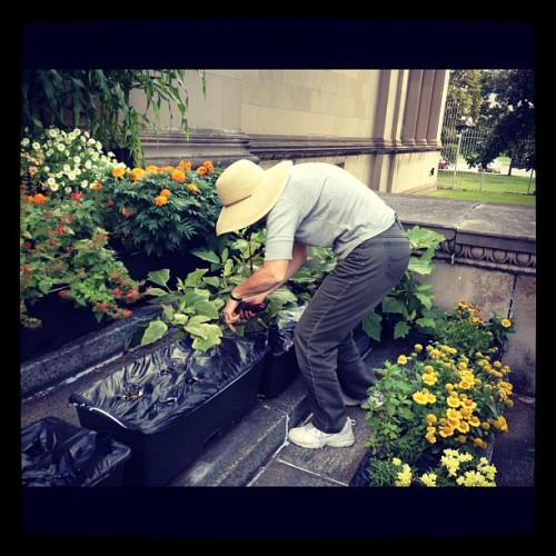 Master Gardener harvesting eggplant for food pantry (Taken with Instagram at Smart Home)