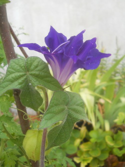 A Japanese Morning Glory from the Galeazza Garden blooms while spending some time at Laura Bonsi's house. Many Galeazza plants have been moved there, and are doing very well!