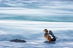 A pair of harlequin ducks at Laxa river near Myvatn Pure Iceland photo gallery by Theo Bosboom