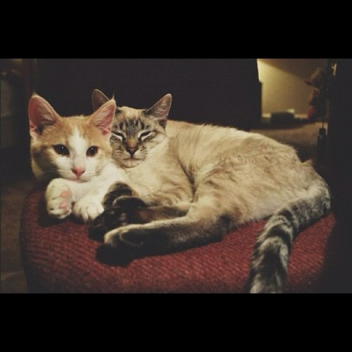 Best buddies #kitties #cute #snuggle #buds #cats #stellaandfinn  💗💗😘 (Taken with Instagram)
