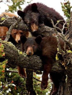 lotsforpets:  funnywildlife:  Tree Huggers: A Bear Necessity!!  I can't Bear it
