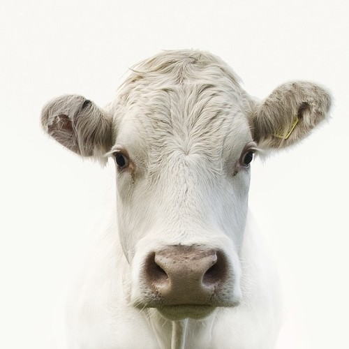 this is a cow. it is cute.
