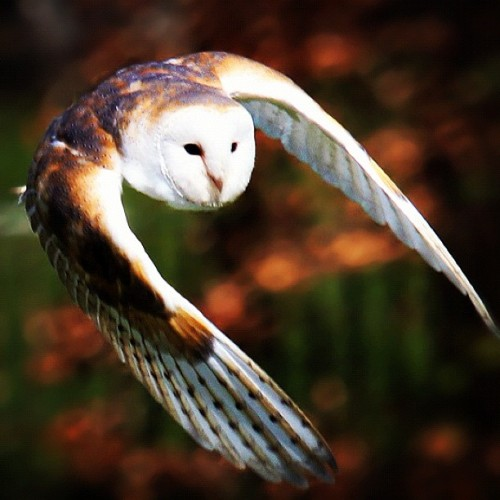 #nature #natureza #animal #bird #passaro #voando #flying #tyto #coruja #owl  (Publicado com o Instagram)