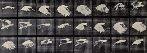 "Cockatoo in Flight Prior to the first motion pictures, Eadweard Muybridge produced a series of stop-motion photographs of animal movement in 1877, which, when viewed in succession, effectively produce the first ""moving pictures"". Cockatoo are a good example of a bird which uses primarily non-gliding (flapping) flight. During the downstroke (power stroke), the wing moves forward and downward, producing thrust. The upstroke, or recovery stroke, involves the flight feathers separating, to allow the air to flow through them. This, combined with the wing partially folding in towards the body, reduces drag significantly. Handbuch der Biologie der Wirbeltiere. Dr. M. Hilzheimer, 1913."