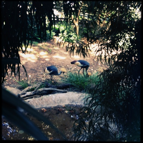 East African Crowned Cranes.  Foxy Lens, Sugar Film, No Flash, Taken with Hipstamatic