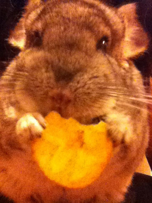 Tiki the Chinchilla loves his Banana Chips