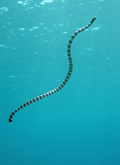 yuria:  banded sea snake(a) by phiyong on Flickr.