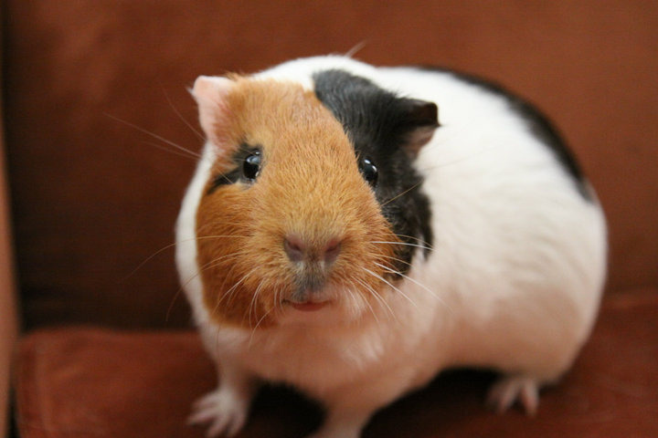 "guineapiggies:  Gadget - Adopted 7/24/12 ;) (by ""I dream of Guinea"")"