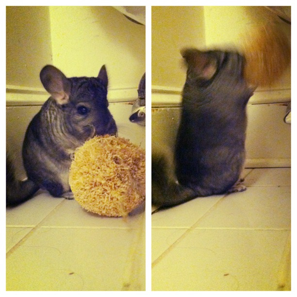 onlylindsay:  Chinchilla action shot! Love of my life.