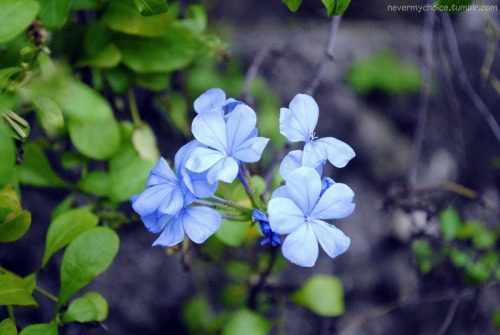 alyssamyca:  this flower is actually purple.. not sure how it turned blue-ish when i took the picture. hahaha.