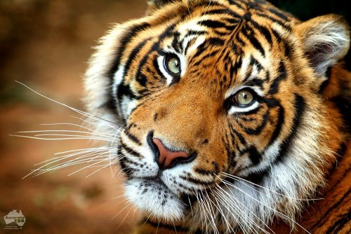 It is presently a very real possibility that the tiger will become extinct in our lifetime. Tiger conservation is therefore now more critical than ever.  It has taken millions of years for tigers to evolve into the beautiful, awe-inspiring predator we have today. Once roaming over nearly one-fifth of the Earth, the tiger has been pushed into small isolated islands of habitat, often surrounded by a sea of humanity. With less than 5,000 tigers remaining in the wild today (and less than 400 Sumatran tigers), immediate action is the only way to save this magnificent species from extinction. The future survival of the tiger is in the hands of mankind. You can help by donating to the Panthera Save the Tigers fund. 100% of your donation will go to protect tiger habitat and help reduce the threat of tiger attacks. https://secure.acceptiva.com/?cst=101749