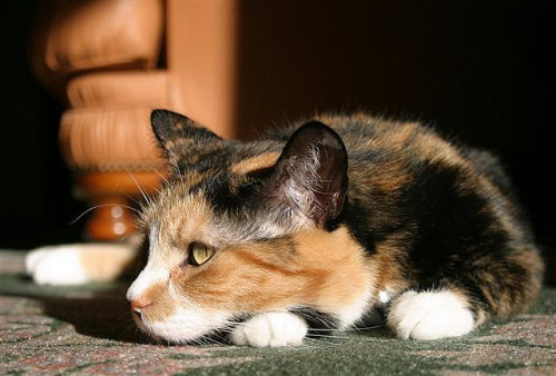 Relaxing Calico by PicturesOfCats on Flickr.