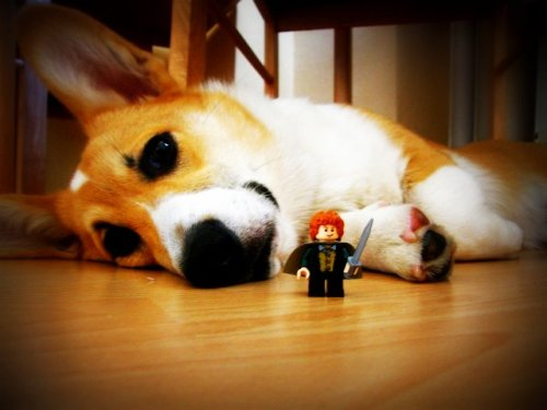 corgimerriness:  Meriadoc Whitefoot with his fella – Merry Brandybuck!