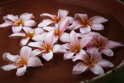 Pink Flowers. Maldives. Plumeria rubra. on Flickr.