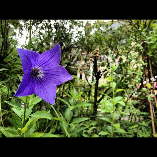 #balloonflower on a #beautiful #cool #sunday #morning.  (Taken with Instagram)
