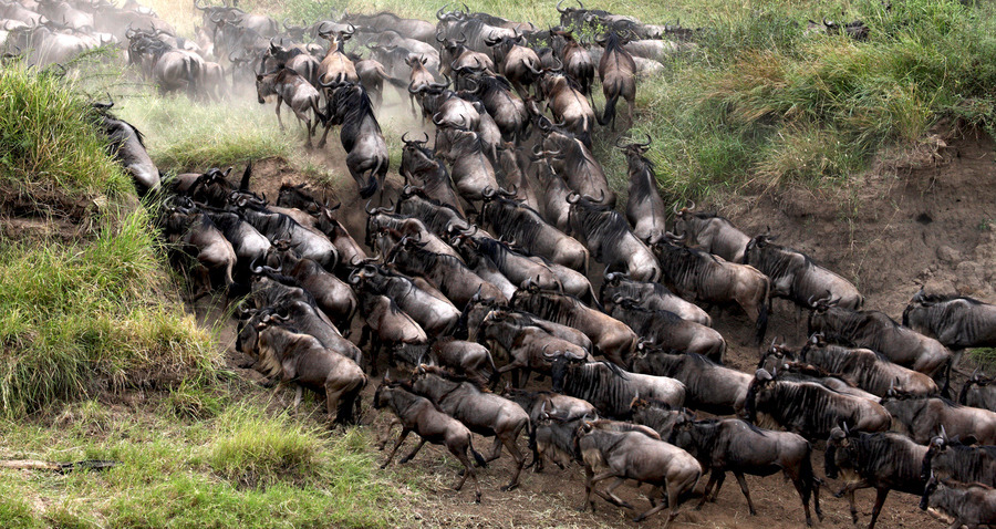 "(via 500px / Photo ""Wildebeest Crossing"" by Sergey Agapov)"