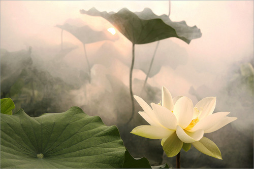 Lotus Flower by Bahman Farzad on Flickr.