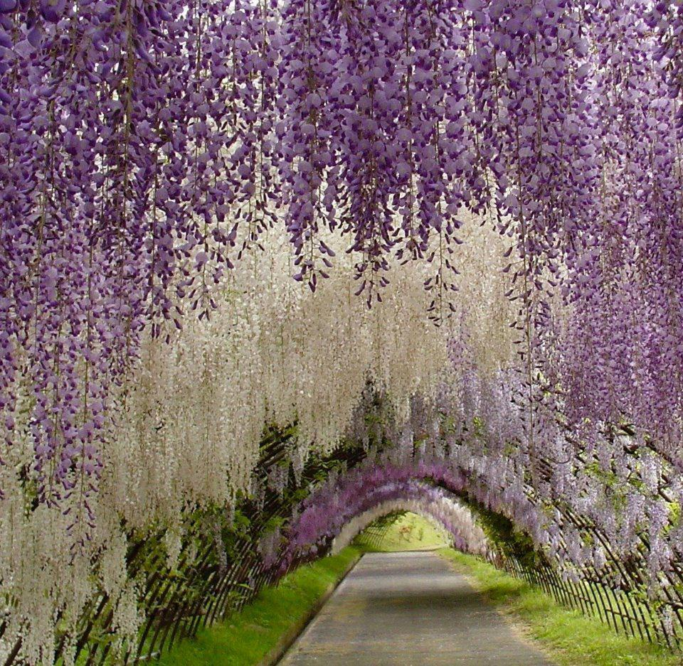 So Beautiful, like a fairy-tale flower tunnel. Wisteria tunnel atKawachi Fuji Garden - Japan