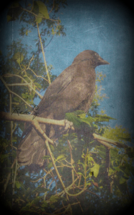 Found this old photo on my external of an injured crow in a friend's yard from about 2 years ago. Was there for a gallery showing and well I spent the most of the night taking photos of this crow because it just sat there. And they all thought it was that the goth girl was outside with the camera taking photos of the crow. I've really noticed that I'm a texture fiend in my photos, does it look like an older photo enough? No? Well add more texture! I still really like this photo.   (Photo by Renée Gschaid/RenG Photography)