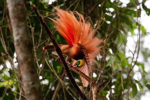 worldlyanimals:  Raggiana Bird of Paradise (maholyoak)