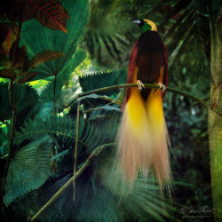 worldlyanimals:  The Empress - Greater Bird of Paradise (fesign)