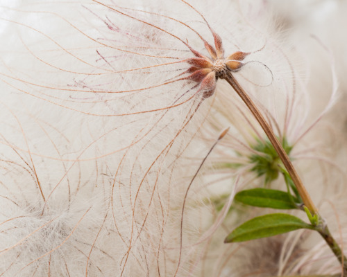 Week 38 #3. These Clematis seeds have feathery plumes, and so they're called Old Man's Beard.