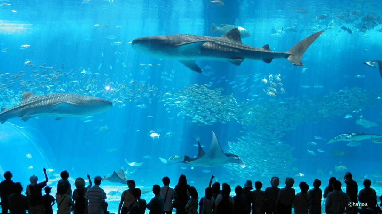 "The Okinawa Churaumi is the world's second largest aquarium and part of the Ocean Aquarium Expo Park located in Motobu, Okinawa, Japan. The main tank holds 7,500-cubic meters (1,981,290 gallons) of water. The aquarium has three theme zones: 1) The giant, warm Black Current (""Kuroshio"") 2) Living coral reefs 3) The two deep sea areas located on each side of the Ryukyu Islands. Entering from the 4rth floor entrance, visitors discover the sea of corals. The Kuroshio (the Japan Current) zone has the world's largest acrylic panoramic window (60cm or 23.62in. thick/8.2m or 26.9ft. high/22.5m or 73.81ft. long) of the sea tank, enclosing 7,500 tons of water. This magnificent aquarium is not only awesome in size. There is also the deep-sea world zone with its luminescent living creatures. A total underwater experience while staying on the ground!"