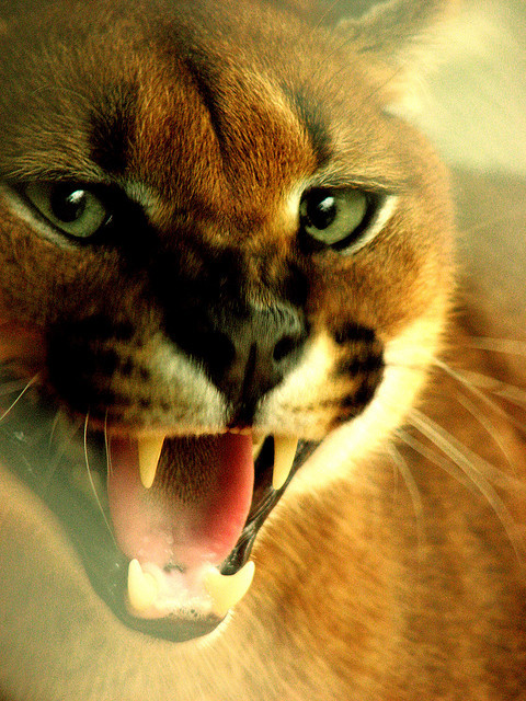 worldlyanimals:  Caracal (annais)  So cute