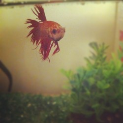 Rio - the ferocious fighting fish  (Taken with Instagram)