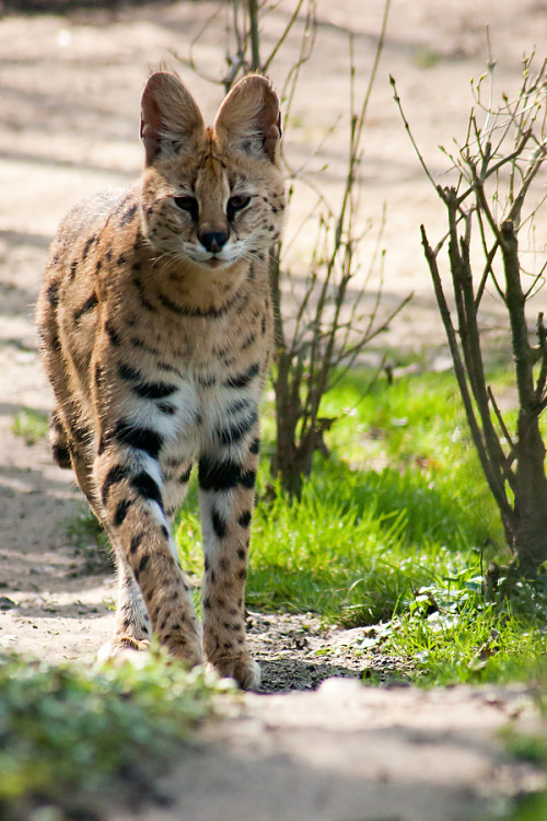 captivating-animals:  Approaching Serval by *darkSoul4Life