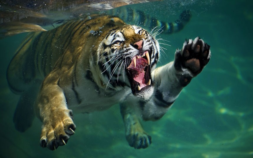 allcreatures:   A tiger grabs a chunk of meat underwater at the Six Flags Discovery Kingdom in Vallejo, California  Picture: Mukul Soman / Barcroft Media (via Pictures of the day: 30 July 2012 - Telegraph)