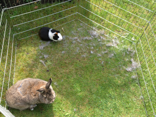 Basil the bunny is moulting winter fur all over the garden. This displeases Manuel the Guinea Pig as the fur floating about is making him itchy!