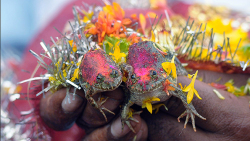 theeconomist:  The wedding of two frogs in Nagpur, India, arranged by farmers hoping for rain. A looming drought there is manageable, but long-term changes to the monsoon might be catastrophic.