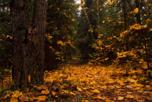 Yellow Forest (by Vitusovich)
