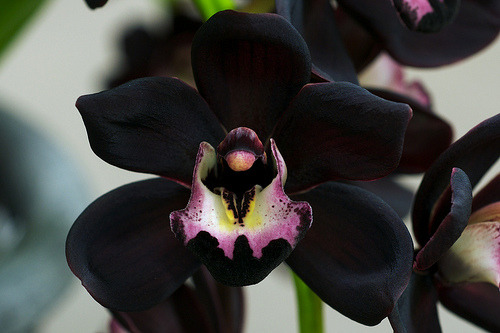 Black isn't a color you often find in the orchid family, Orchidaceae. It is therefore highly coveted. This is Cymbidium Kiwi Midnight, that being its commercial name. This flower is not actually true black, though it might appear to be. It is actually a deep burgundy.