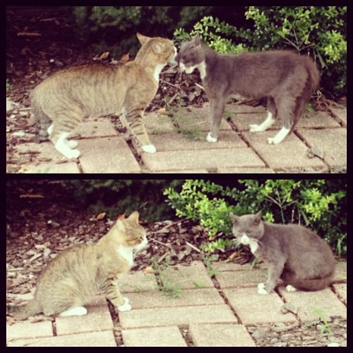 caoine:  Alley cat conflict resolution (Taken with Instagram)  détente