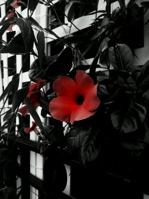 Crimson noir attraction#flower #blackandwhite #flor #blancoynegro #colorsplash #awesomeshots #nature #flowers #photography #amor(from @SloPoke on Streamzoo)