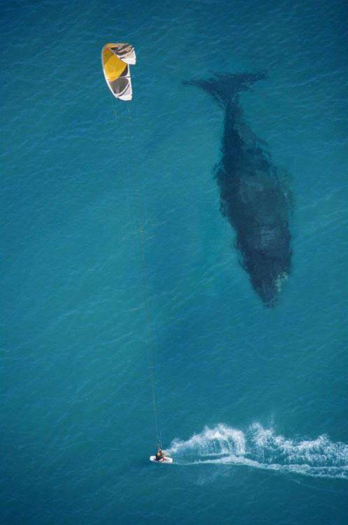 dprblog:  Awesome aerial photograph of a  kite surfer and a Blue Whale by photographer Mike Swaine (via Warholian) You can check more aerial photographs by Mike on his Flickr page