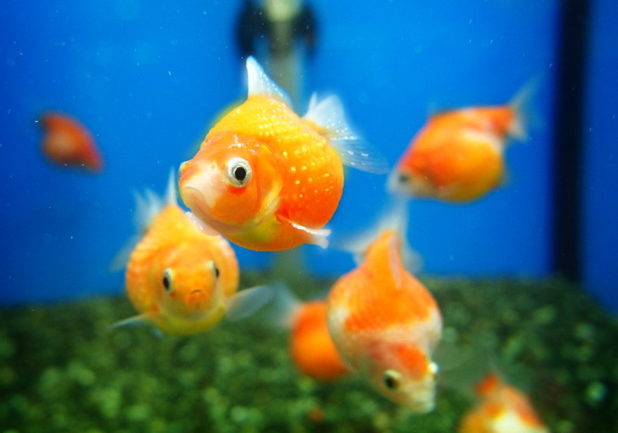 Obese Goldfish by ~Suu999