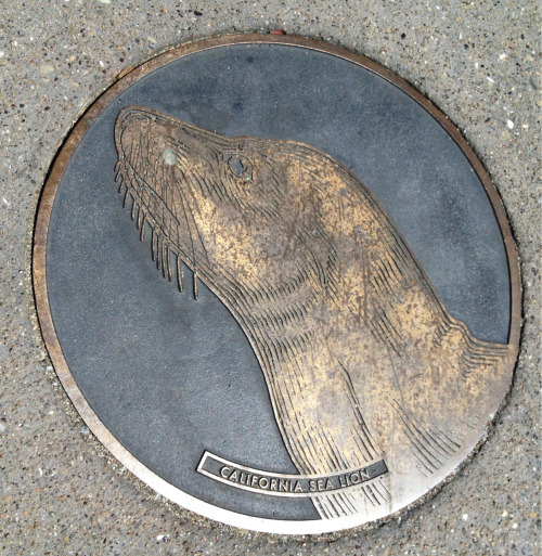 Embarcadero sidewalk: California sea lion