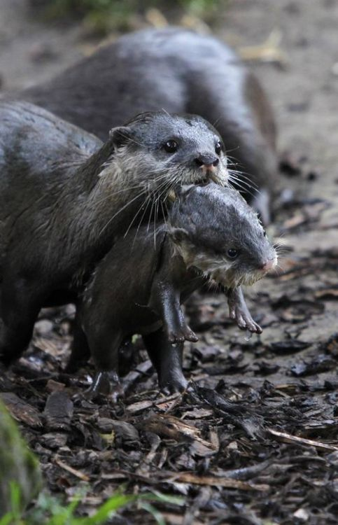 Newborn otter at the Chester Zoo