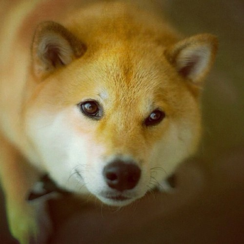 aplacetolovedogs:  From @marutaro #shibainu #popular #cutest (Taken with Instagram)